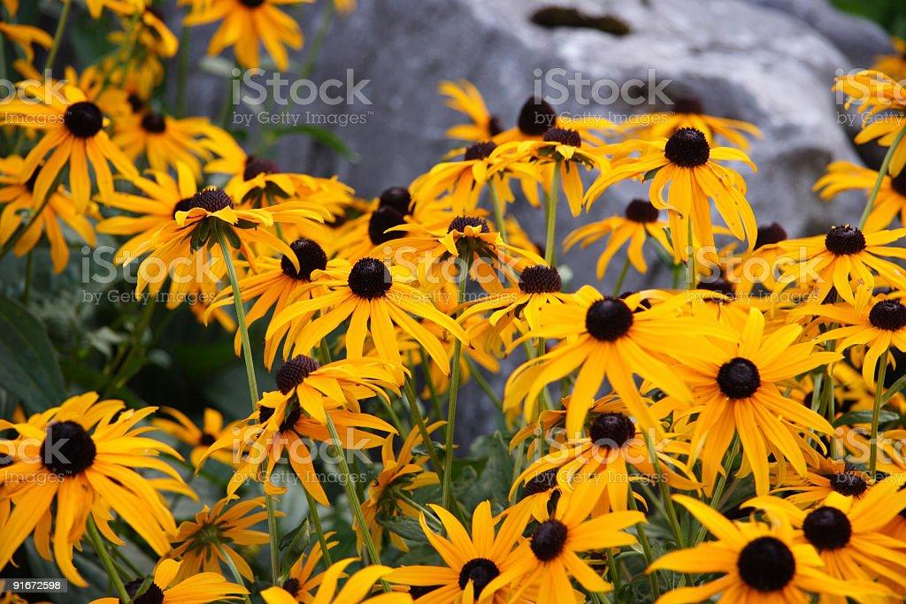 black-eyed susans 7 stock photo