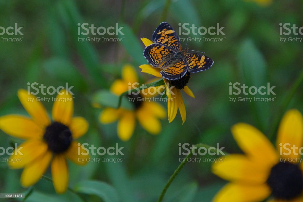Black-eyed Susans and a moth stock photo