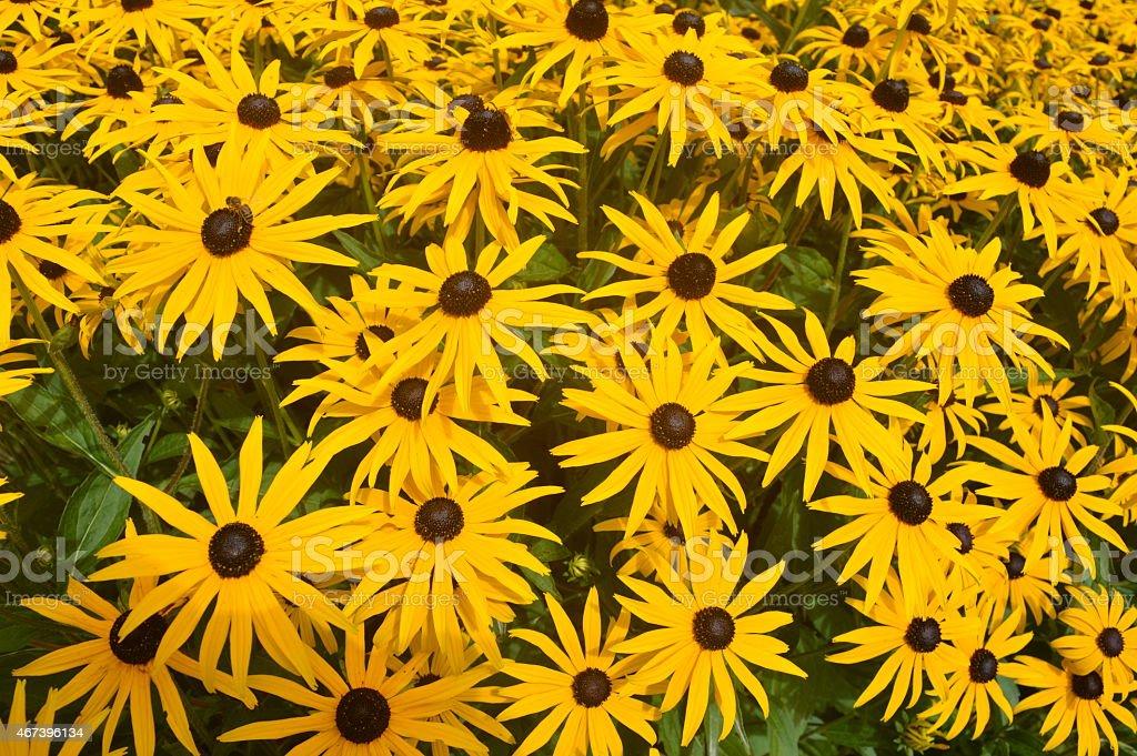 Blackeyed Susans stock photo