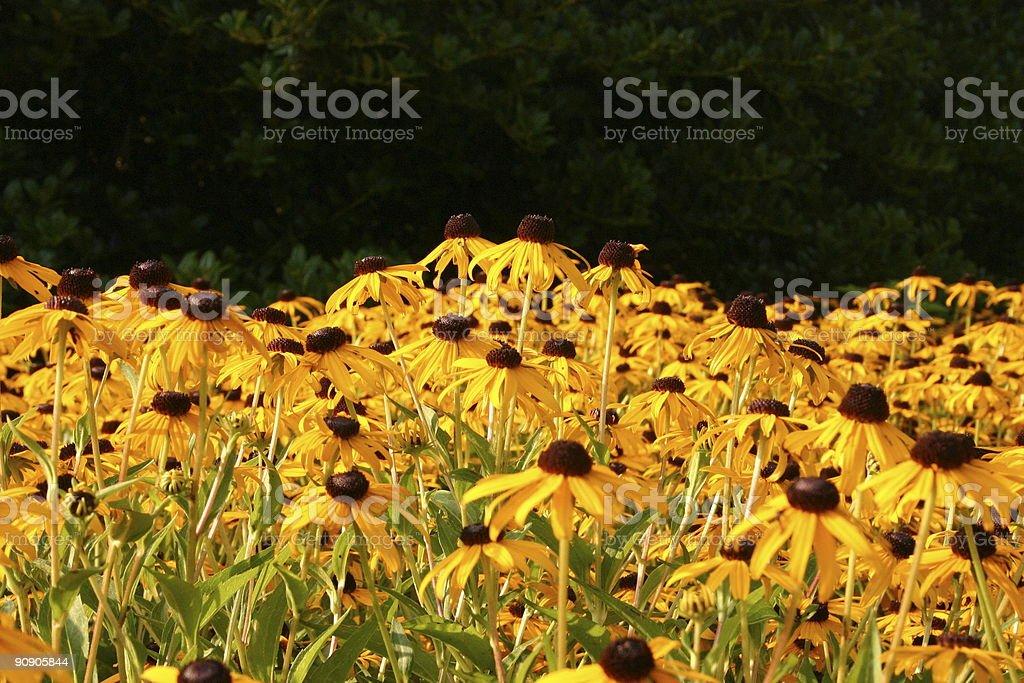 Black-eyed Susans stock photo
