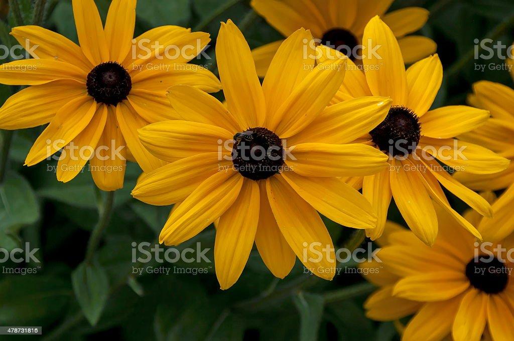 Black-eyed susans rudbeckia hirta flowers stock photo