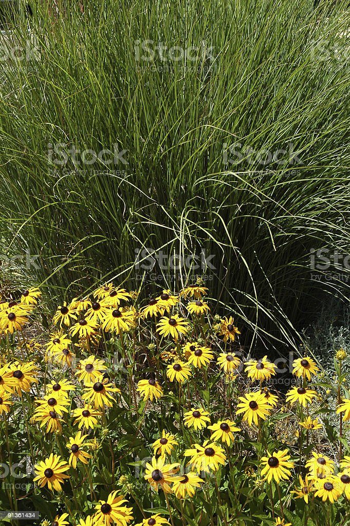 Black-Eyed Susans with Ornamental Grass stock photo