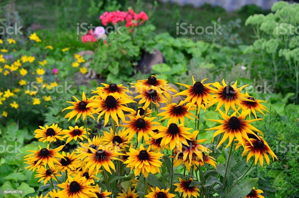 Black-eyed-susans stock photo