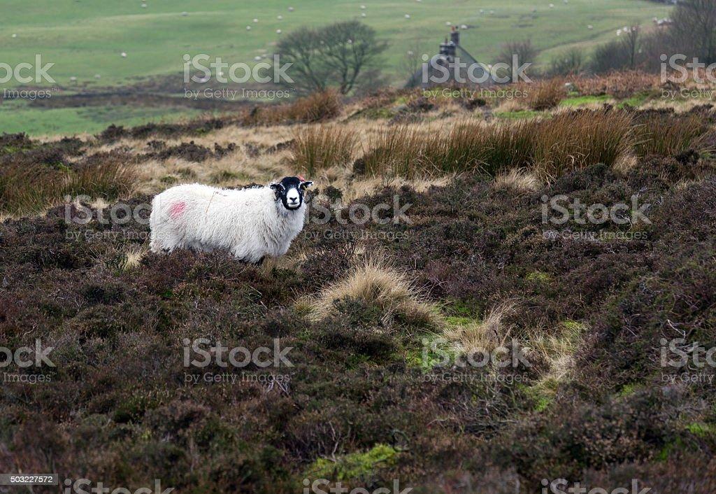 Blackface sheep in Derbyshire, UK stock photo