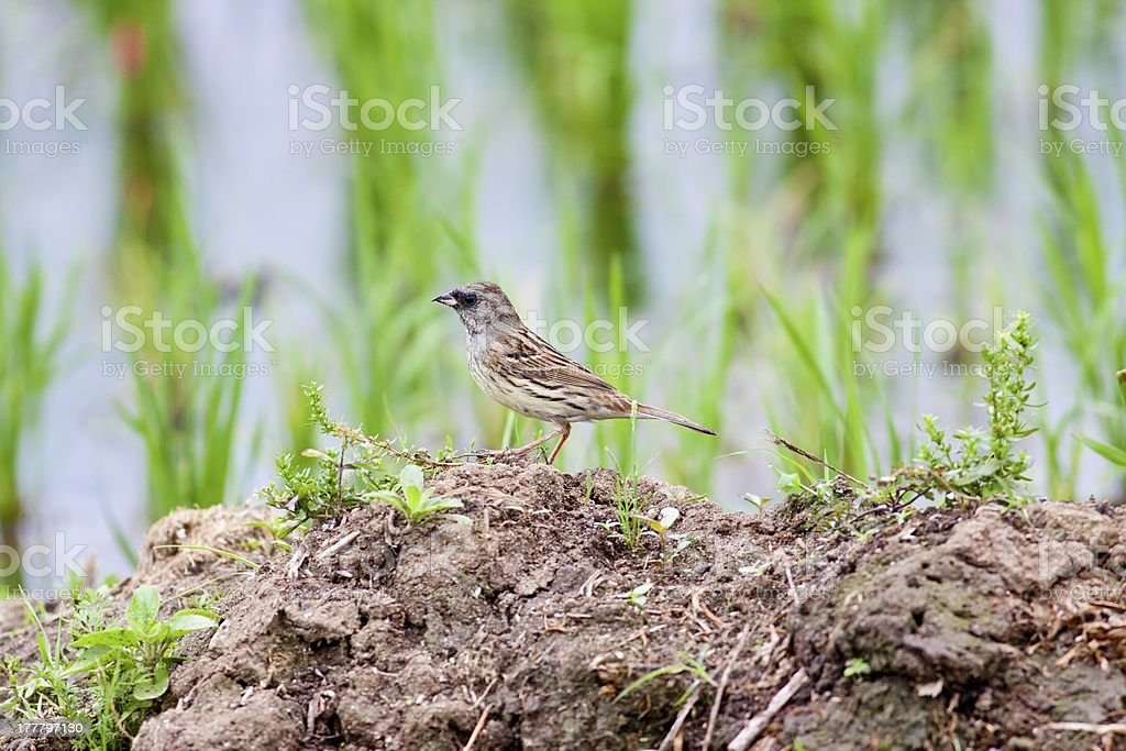 Black-faced Bunting stock photo