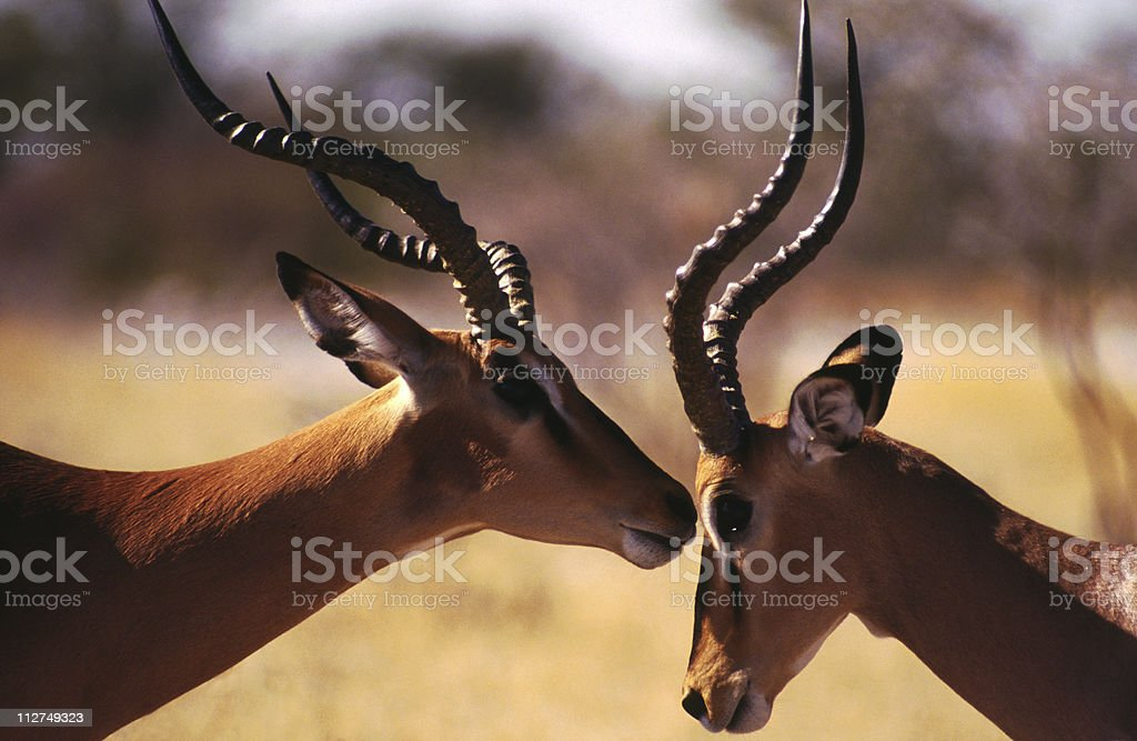 Black-Faced Impala, Namibia royalty-free stock photo