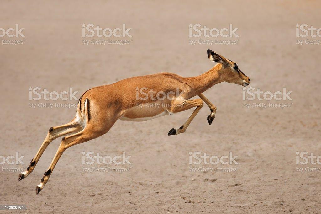 Black-faced impala running stock photo