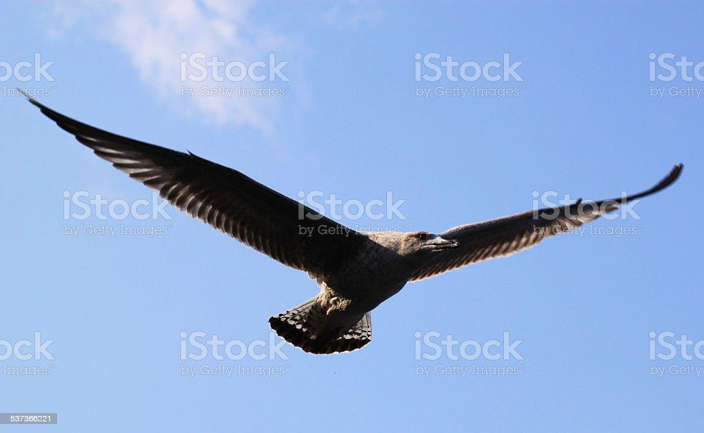 Black-Footed Albatross. stock photo