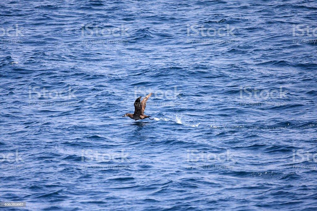 Black-footed albatross stock photo