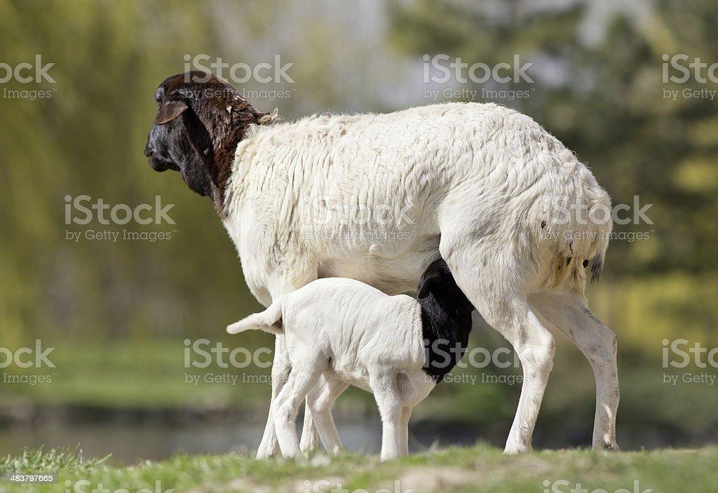 Blackhead persian sheep stock photo