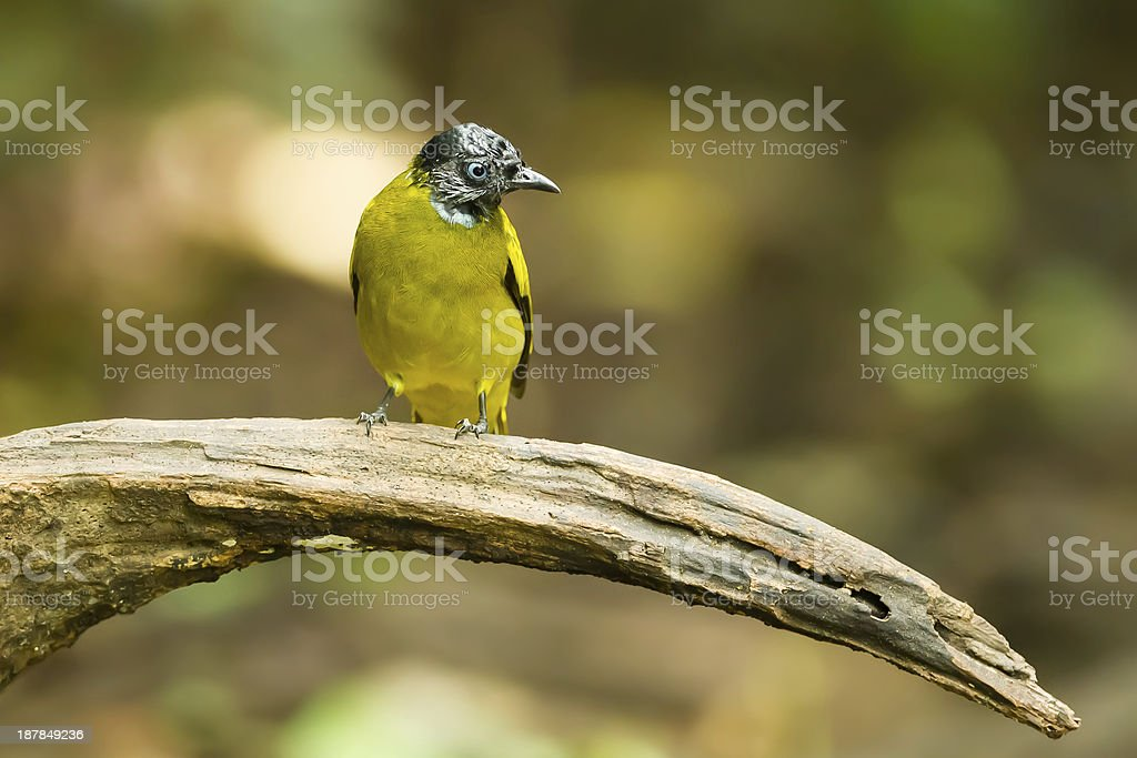 Black-headed Bulbul royalty-free stock photo
