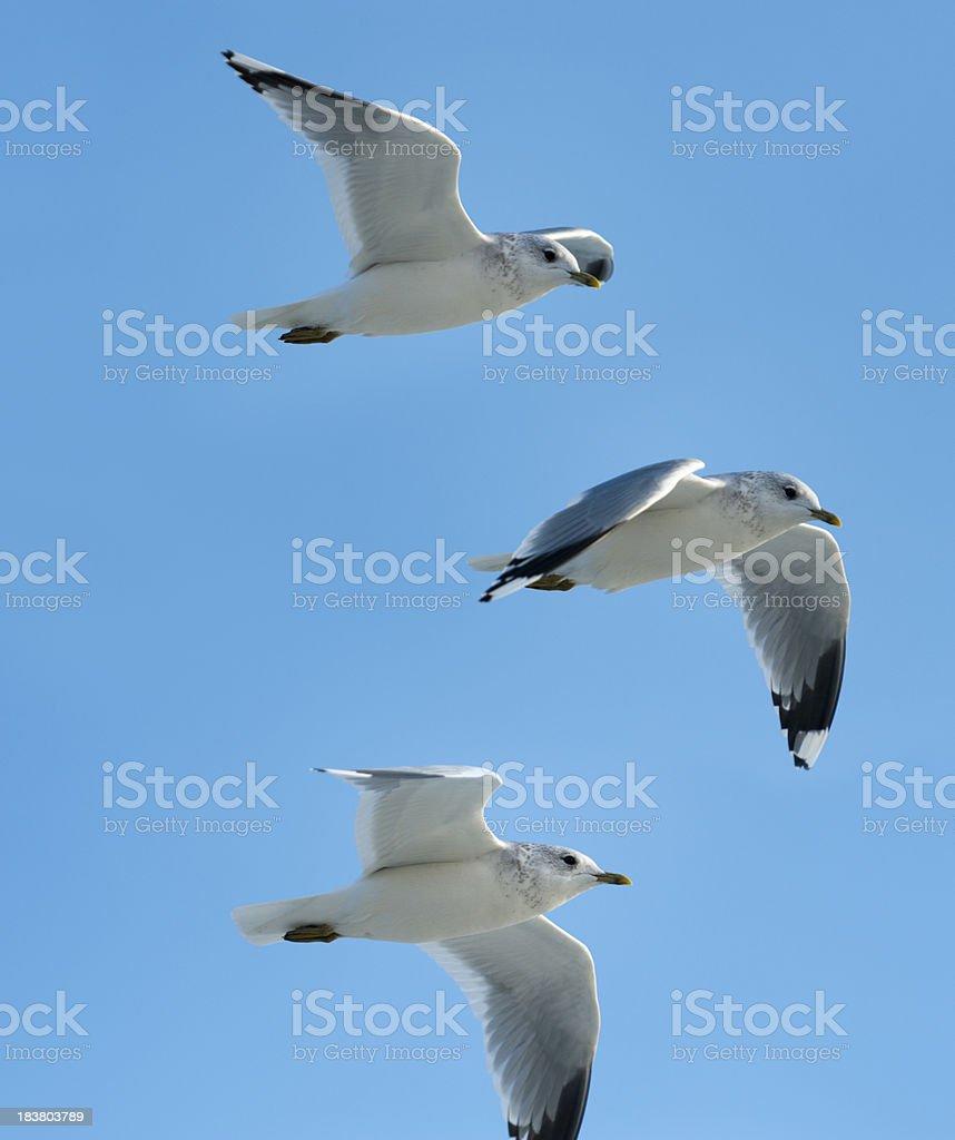 (common) black-headed gull   image size XXXL royalty-free stock photo