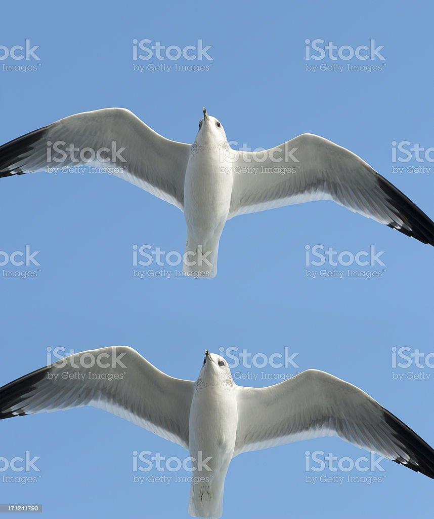 (common) black-headed gull  imagesize XXXL royalty-free stock photo