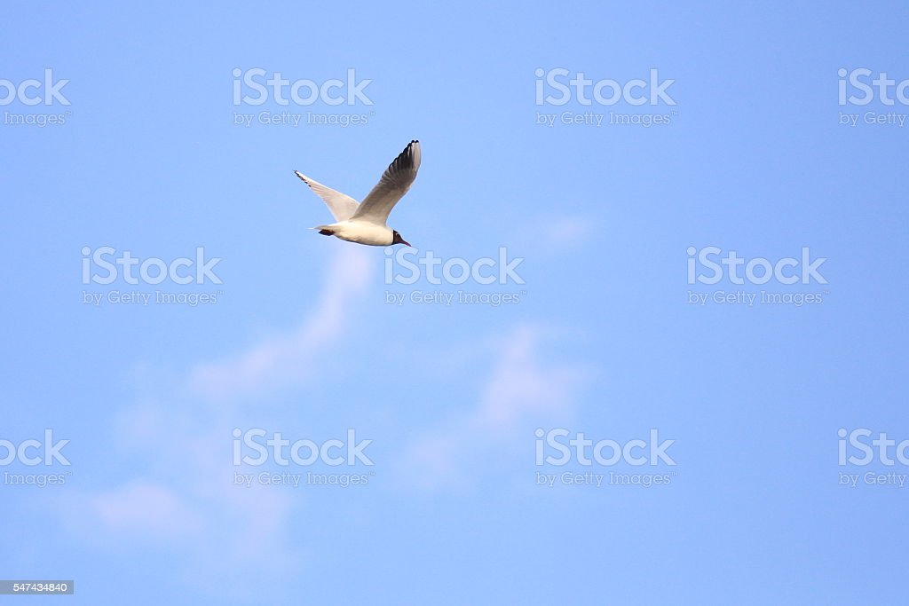 Black-headed gull (Chroicocephalus ridibundus) in nuptial plumage stock photo