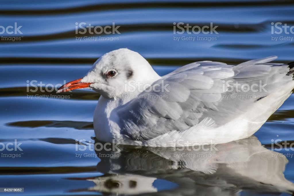 black-headed gull in winter close up, Chroicocephalus ridibundus stock photo