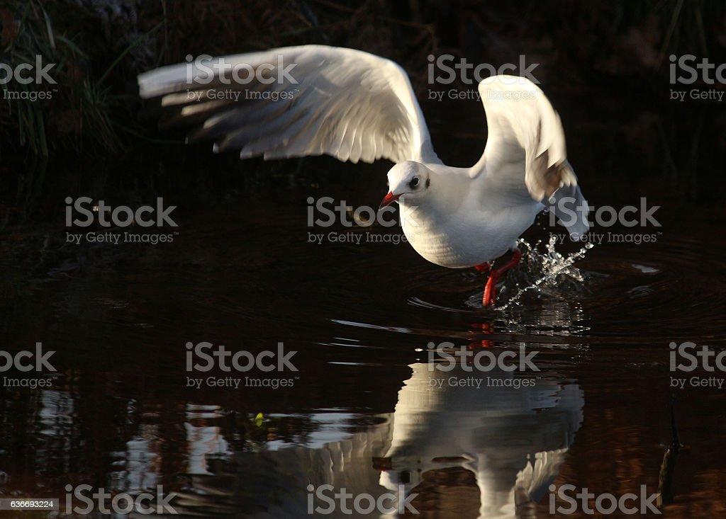 Black-Headed Gull in Winter Plumage stock photo