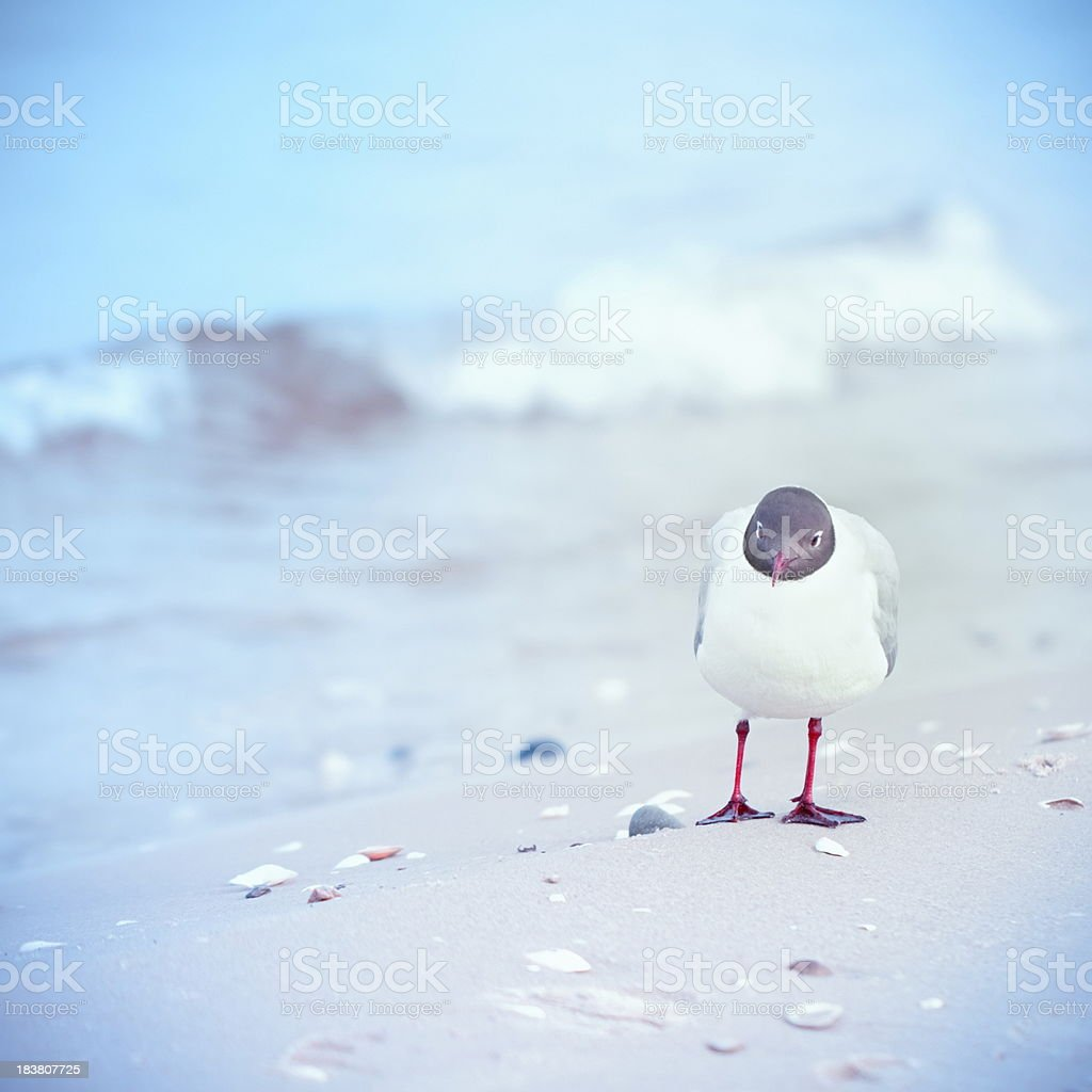 Black-headed gull is looking at me royalty-free stock photo