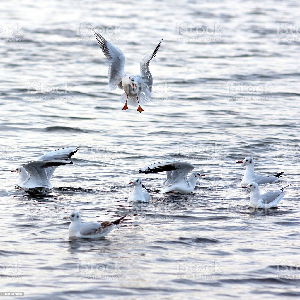 Black-headed gull landing into a group stock photo