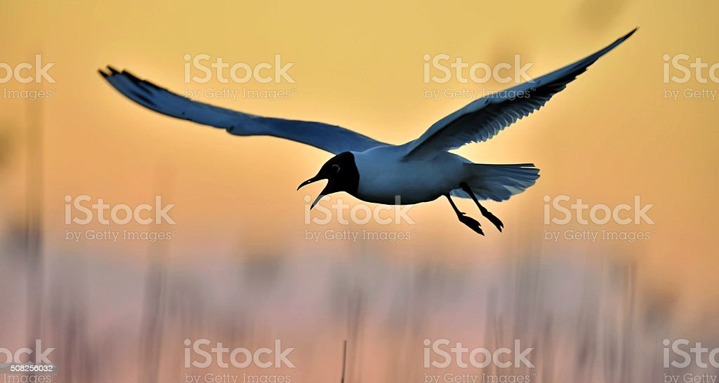 Black-headed Gull on sunset background stock photo