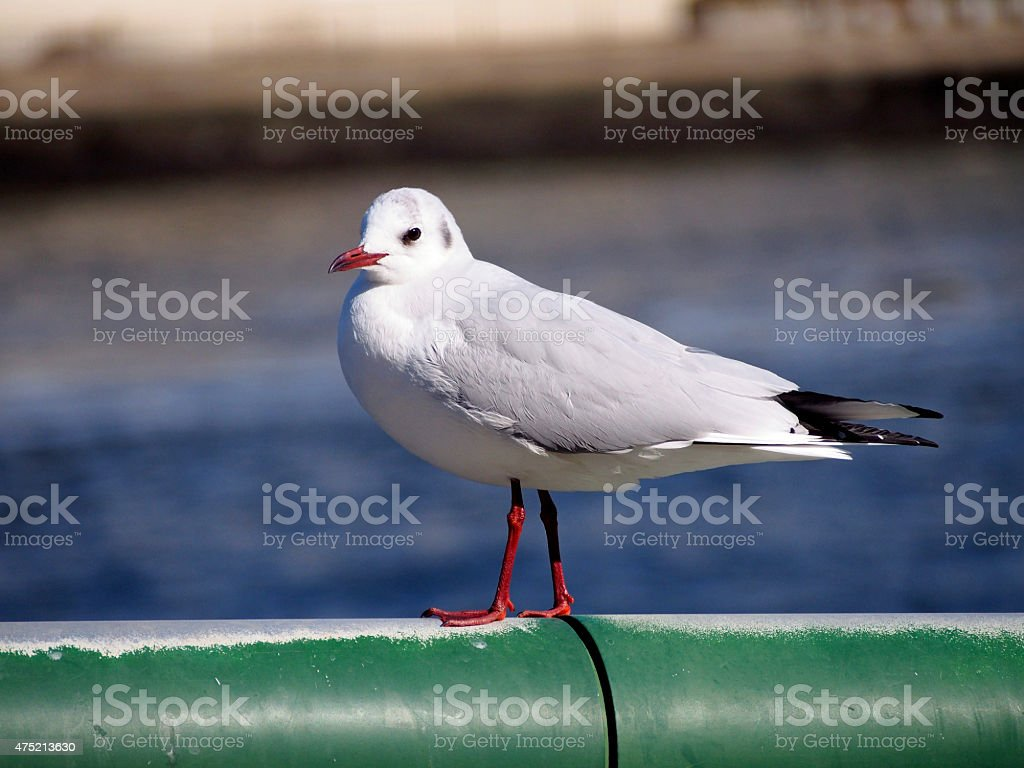 Black-headed gull on the handrail stock photo