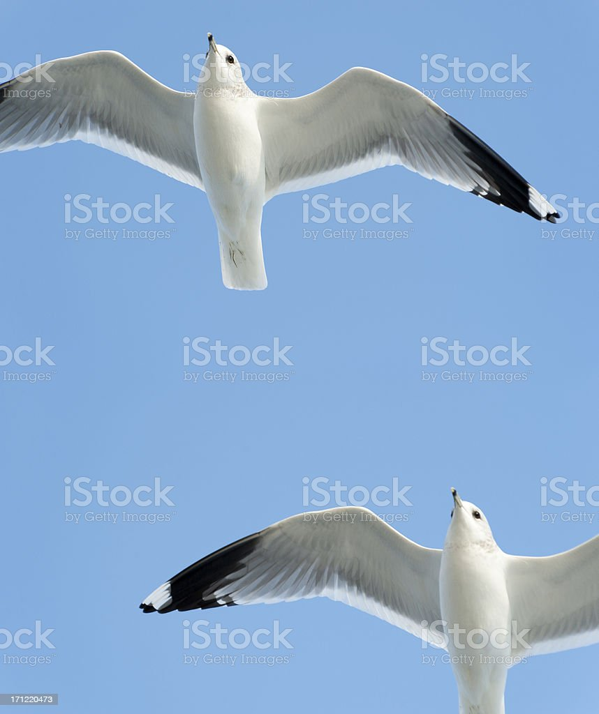 (common) black-headed gull  (imagesize XXXL) royalty-free stock photo