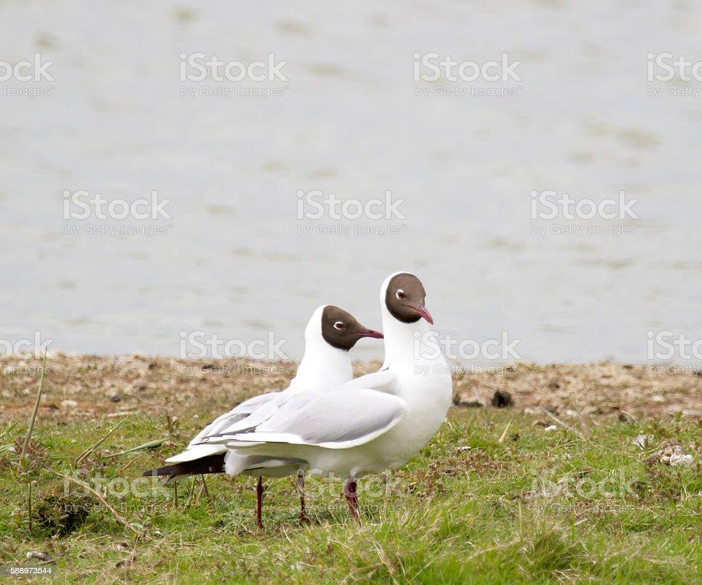 Black-Headed Gull (Chroicocephalus ridibundus) stock photo