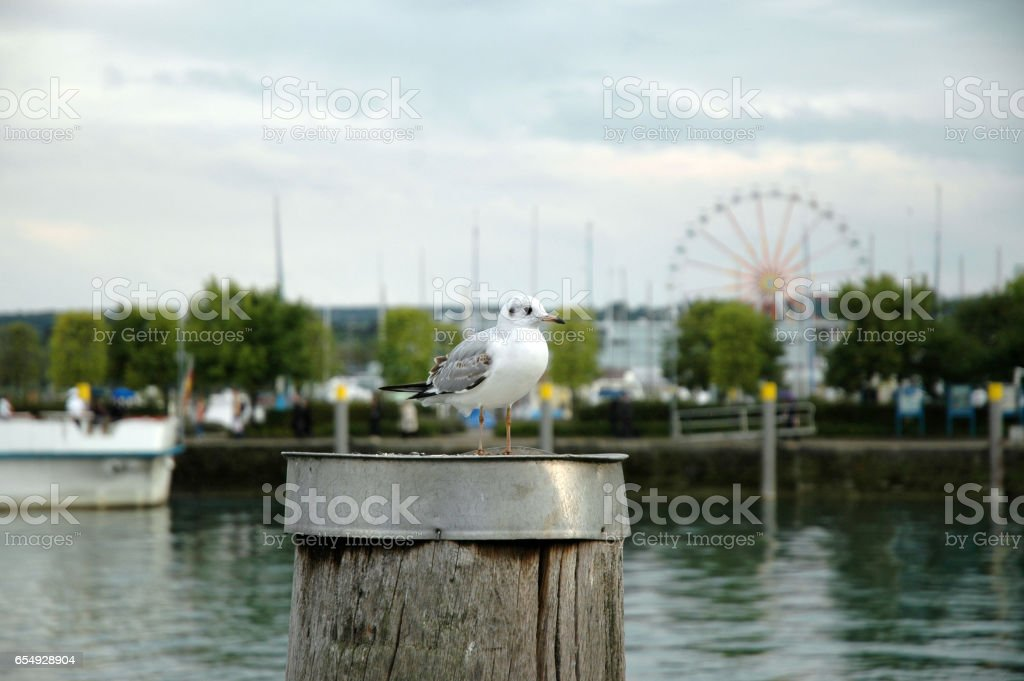 Lachmöwe stock photo
