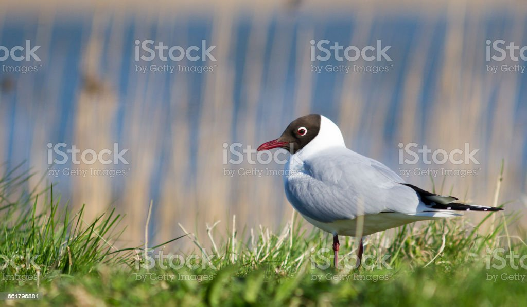 Black-headed gull stock photo