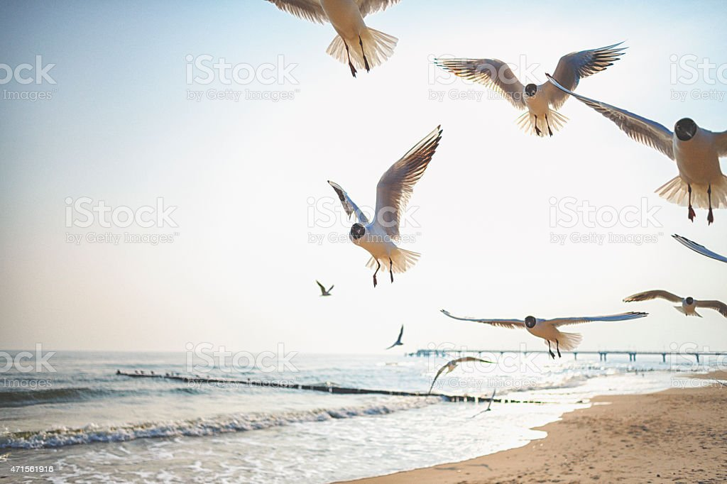 Black-headed gulls at the Ocean stock photo