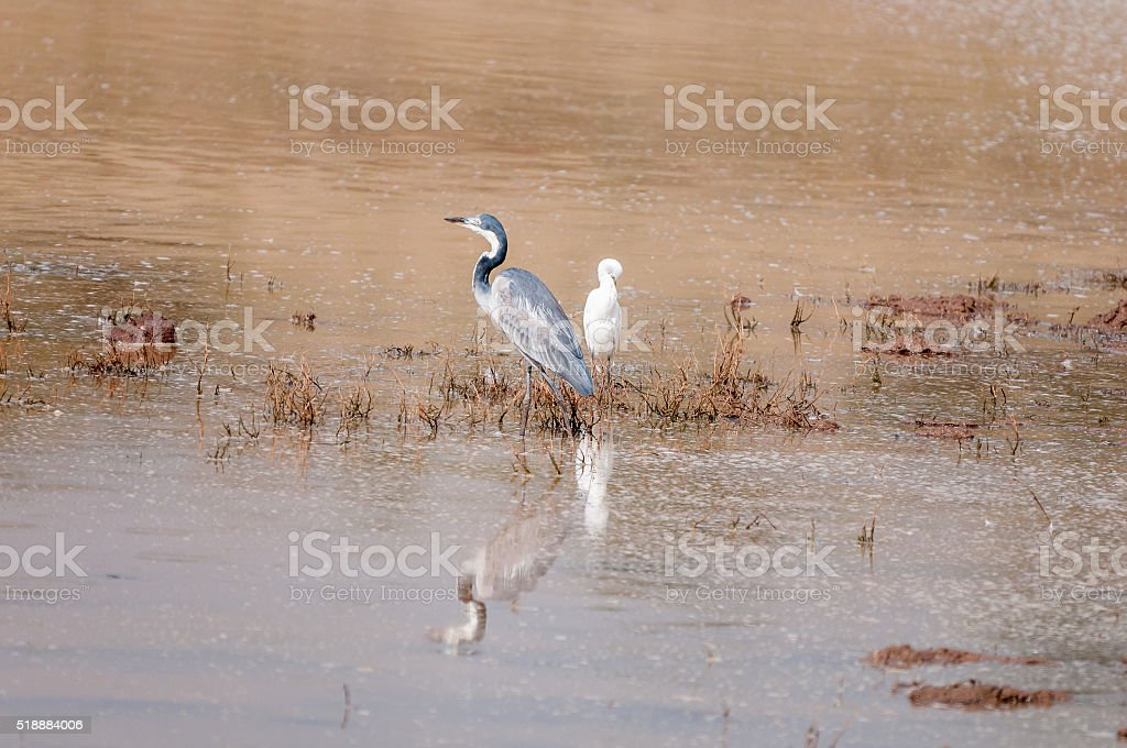 Black-headed heron and a cattle egret stock photo