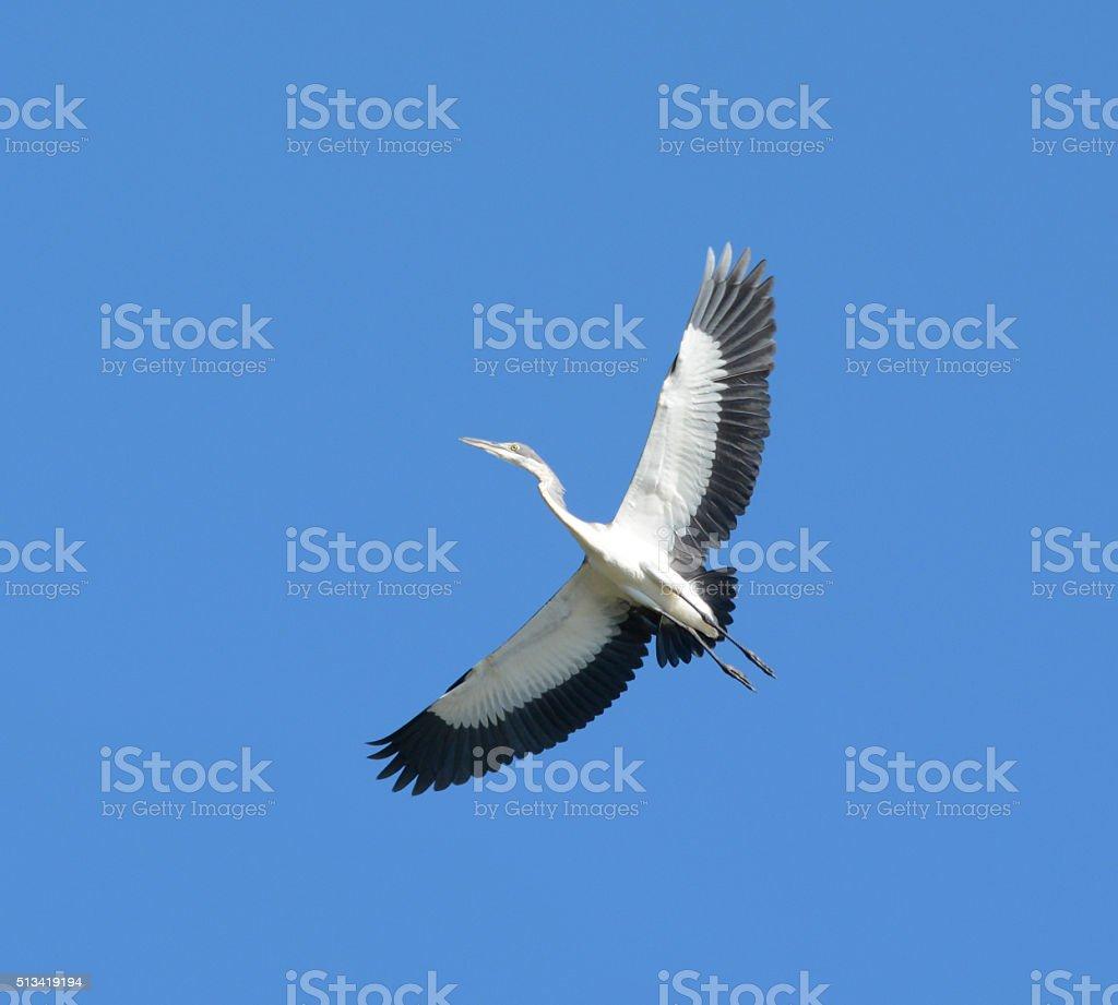 Black-headed Heron in flight stock photo