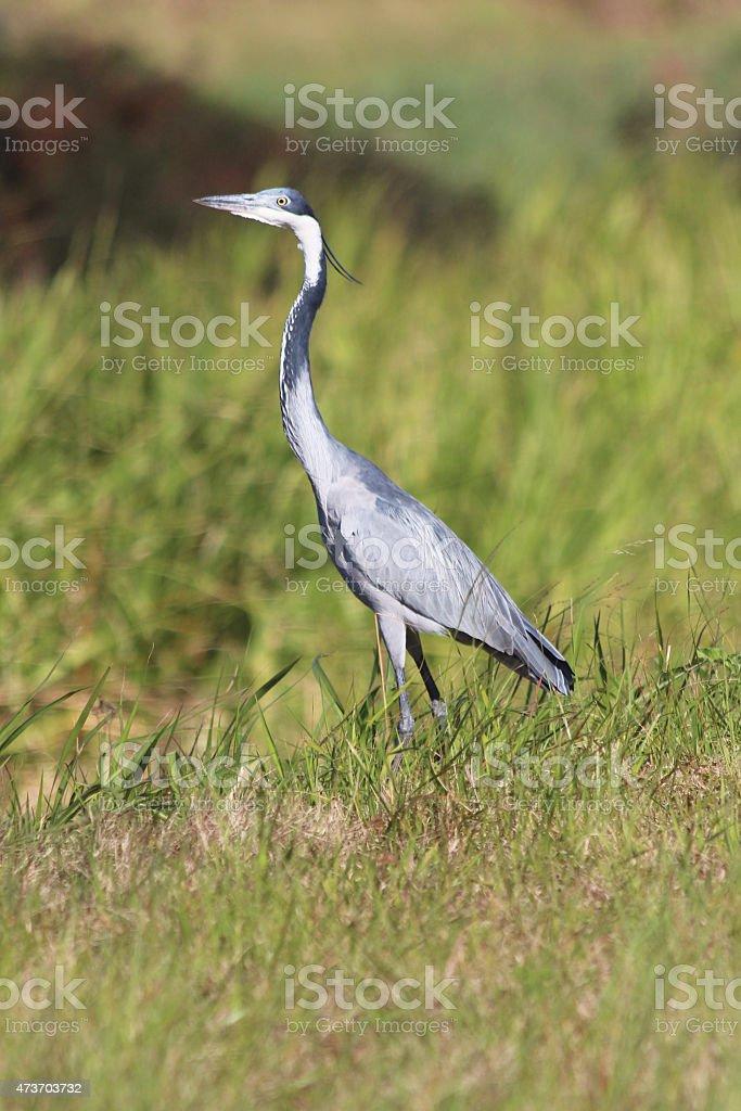 black-headed heron in grass field stock photo