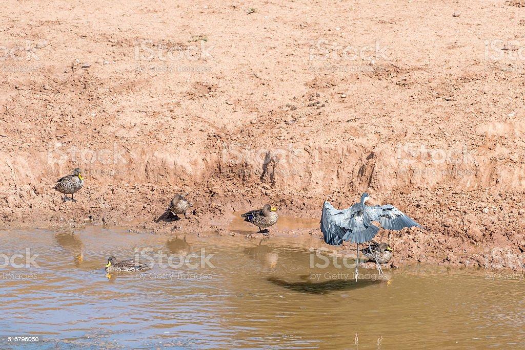 Black-headed heron landing stock photo