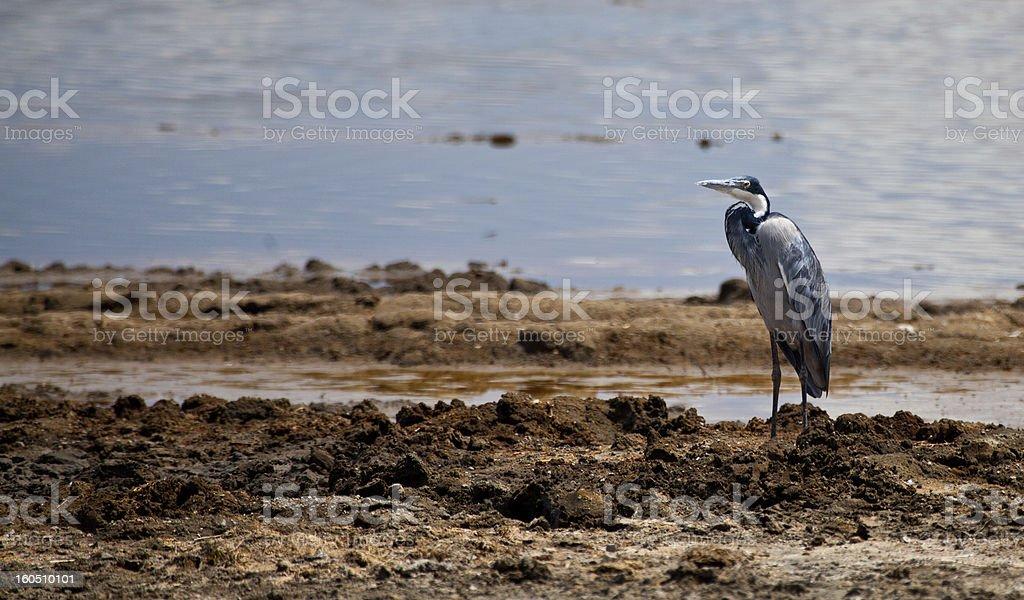 Black-Headed Heron royalty-free stock photo