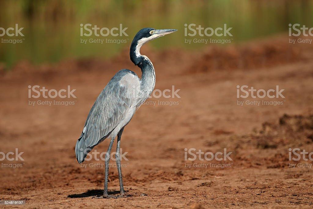 Black-headed heron stock photo