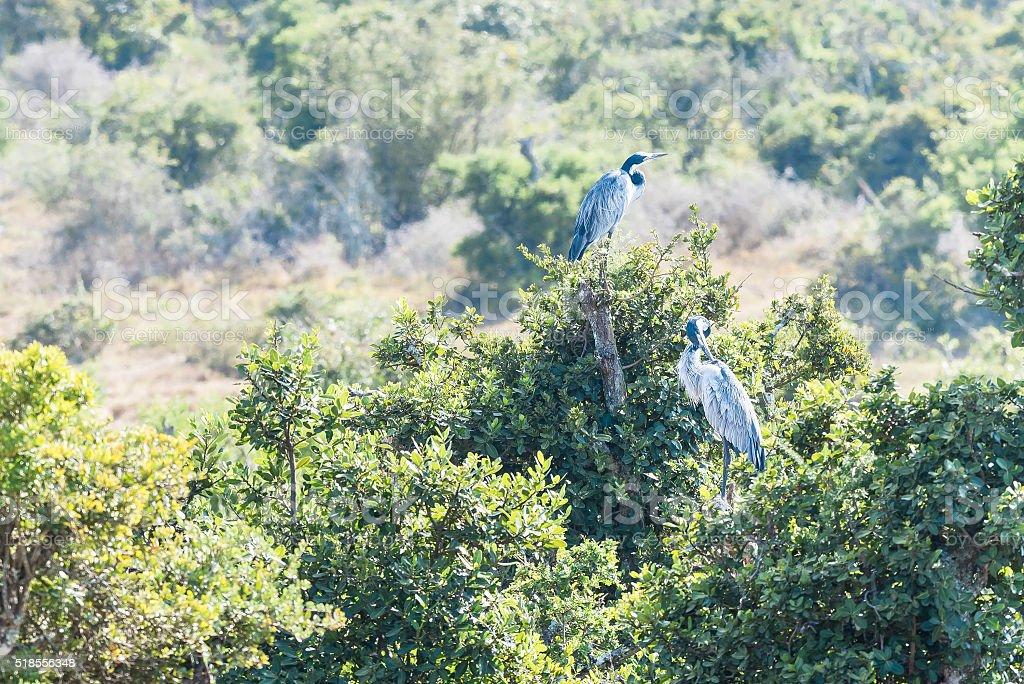 Black-headed herons stock photo