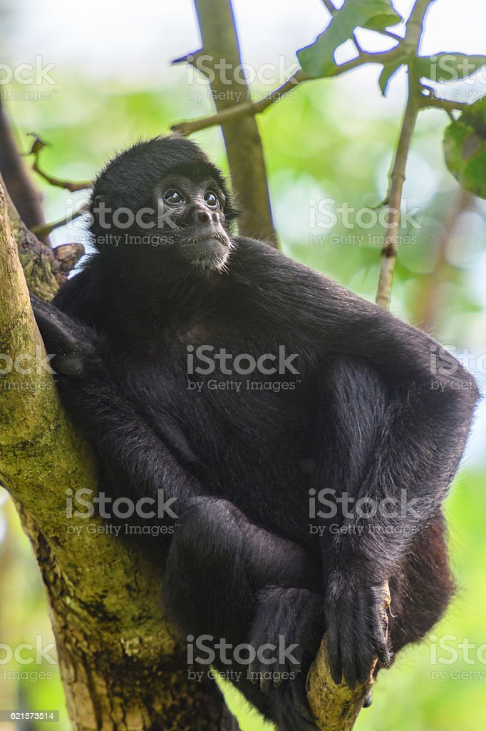 Black-headed spider monkey sitting in a tree. stock photo