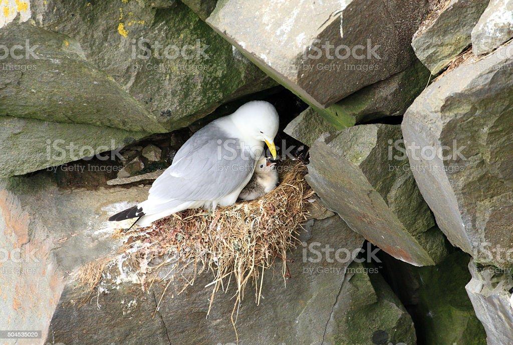 Black-Legged Kittiwake Nest - Newfoundland stock photo