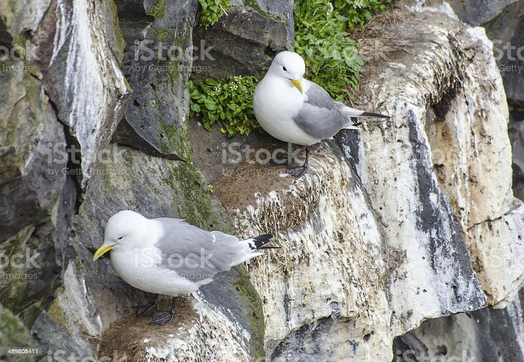 Black-legged Kittiwakes stock photo