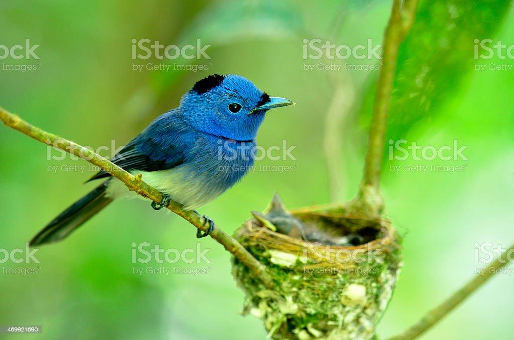 Black-naped Monarch or socalled black-naped blue flycatcher (hyp stock photo