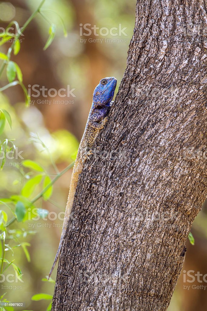 black-necked agama in Kruger National park, South Africa stock photo