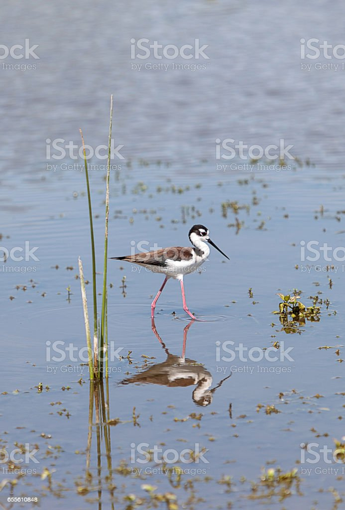 Black-necked stilt, Himantopus mexicanus stock photo