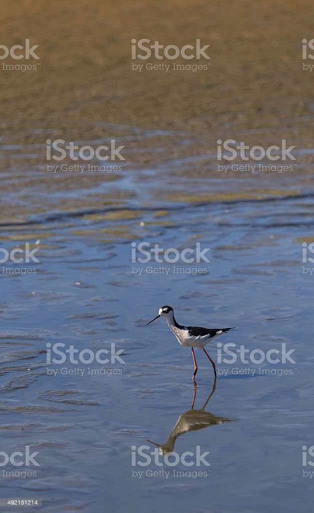 Black-necked stilt, Himantopus mexicanus, shore bird stock photo