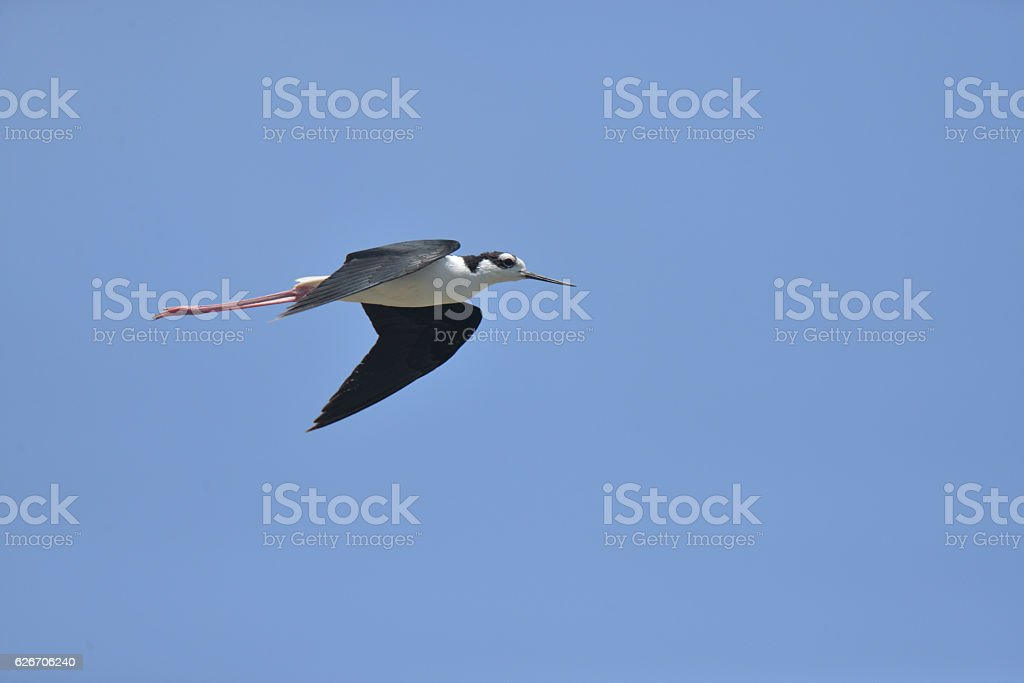 Black-necked Stilt in Northern peru stock photo