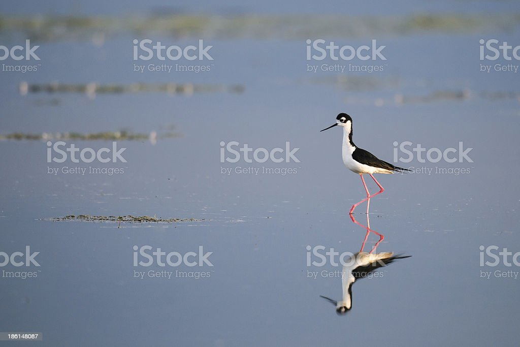 Black-necked Stilt (Himantopus mexicanus) stock photo