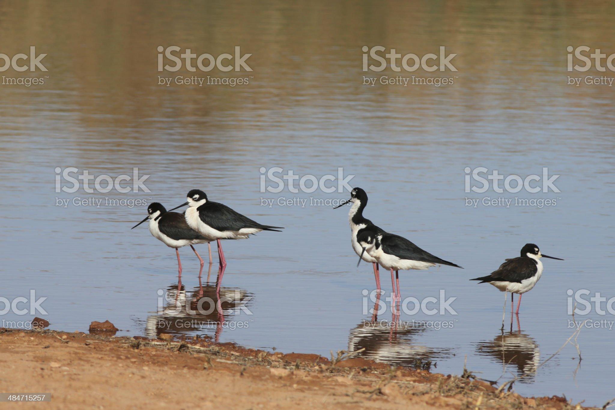 Black-necked Stilt royalty-free stock photo