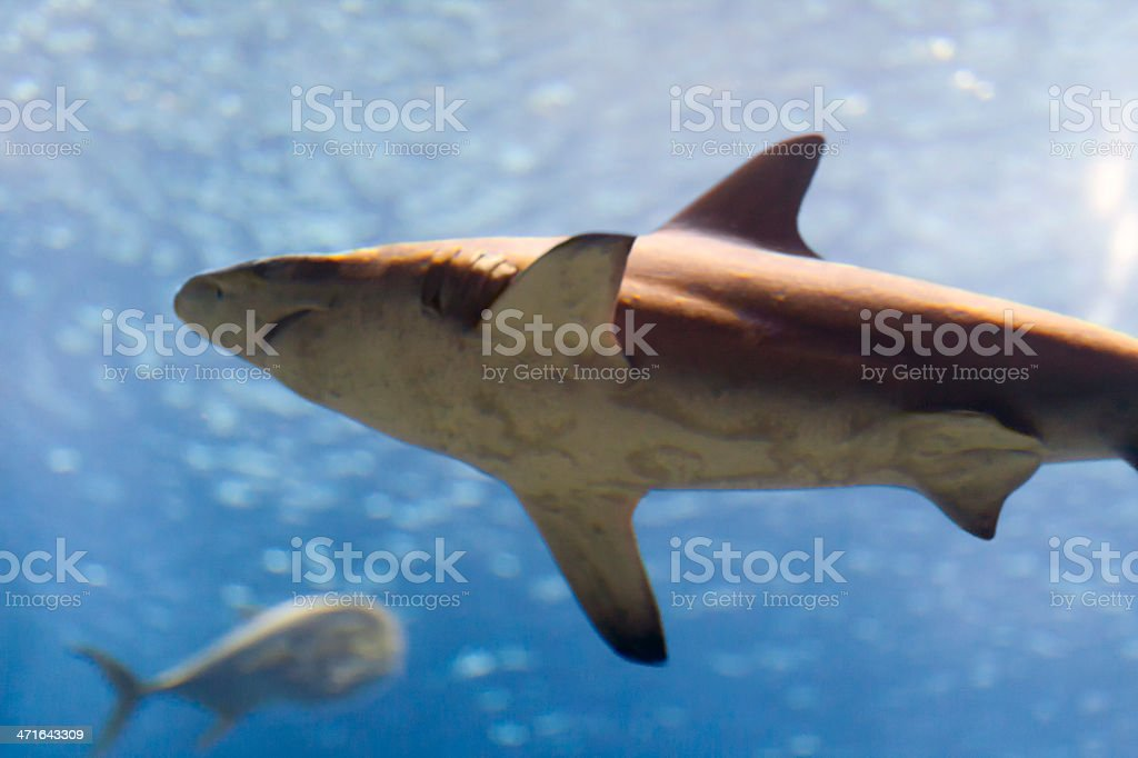 Blacknose shark royalty-free stock photo