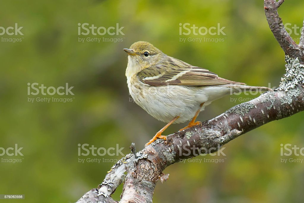 Blackpoll Warbler stock photo