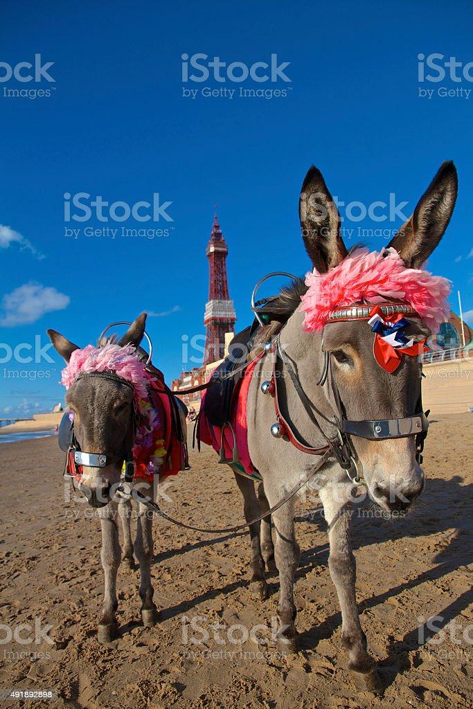 Blackpool Seaside Donkeys on the sandy beach stock photo