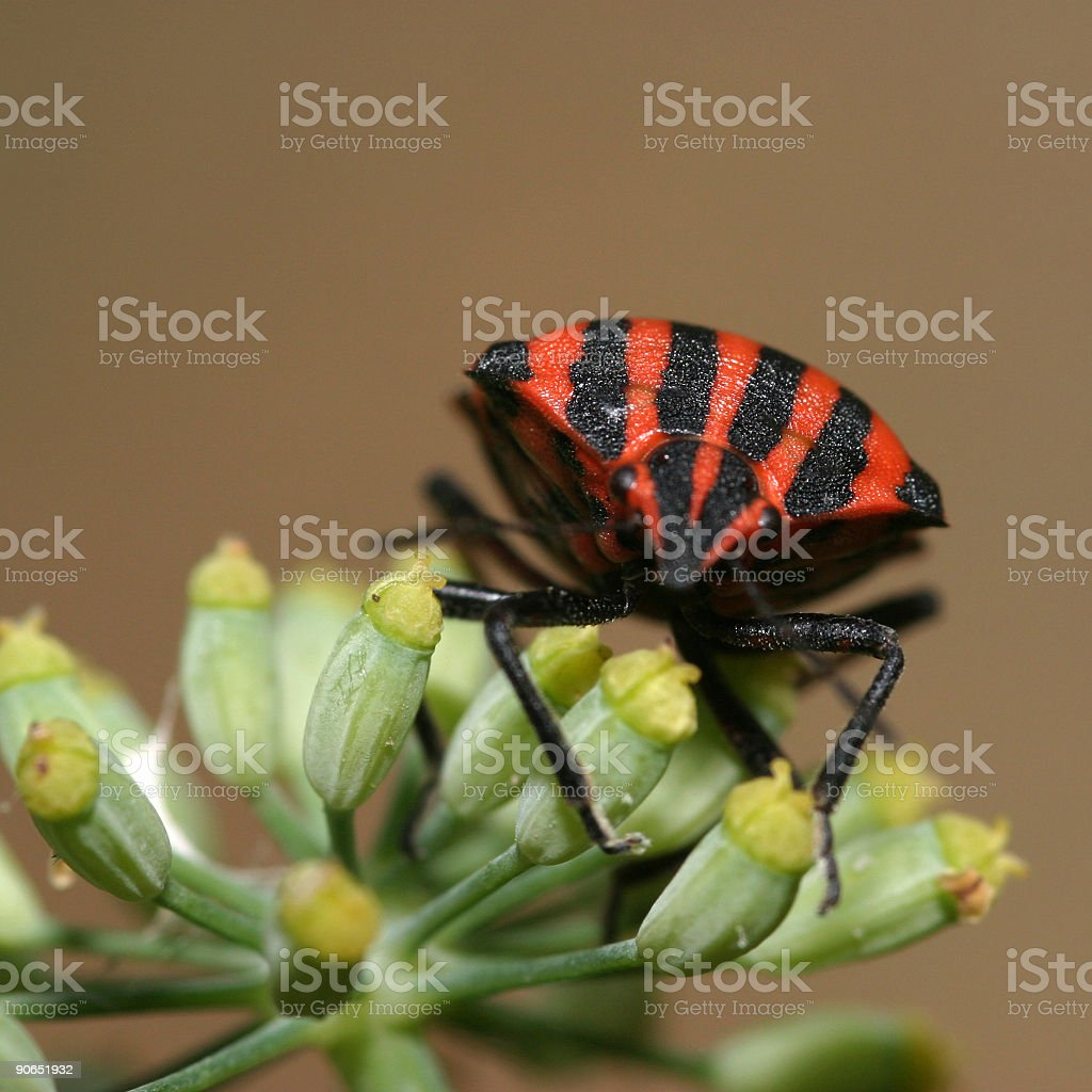 Black-red bug royalty-free stock photo